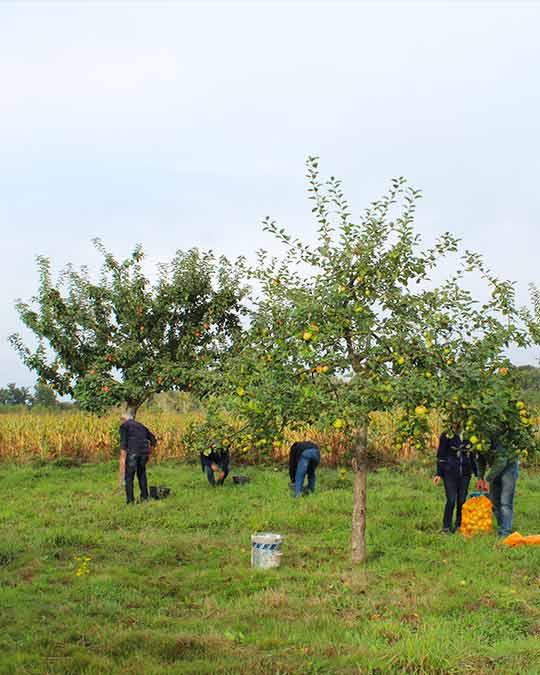 Récolte des pommes au verger du Poncel à Québriac