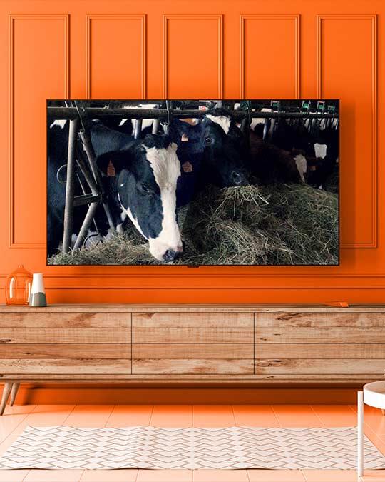 Elevage laitier en Bretagne